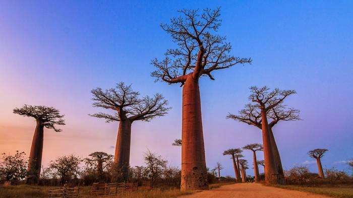 Baobab Trees Madagascar Shutterstock 265602881