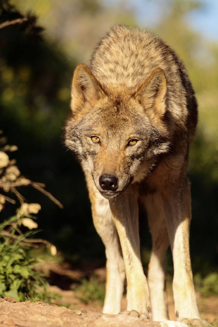 Iberian Wolf, Spain shutterstock_84013561.jpg