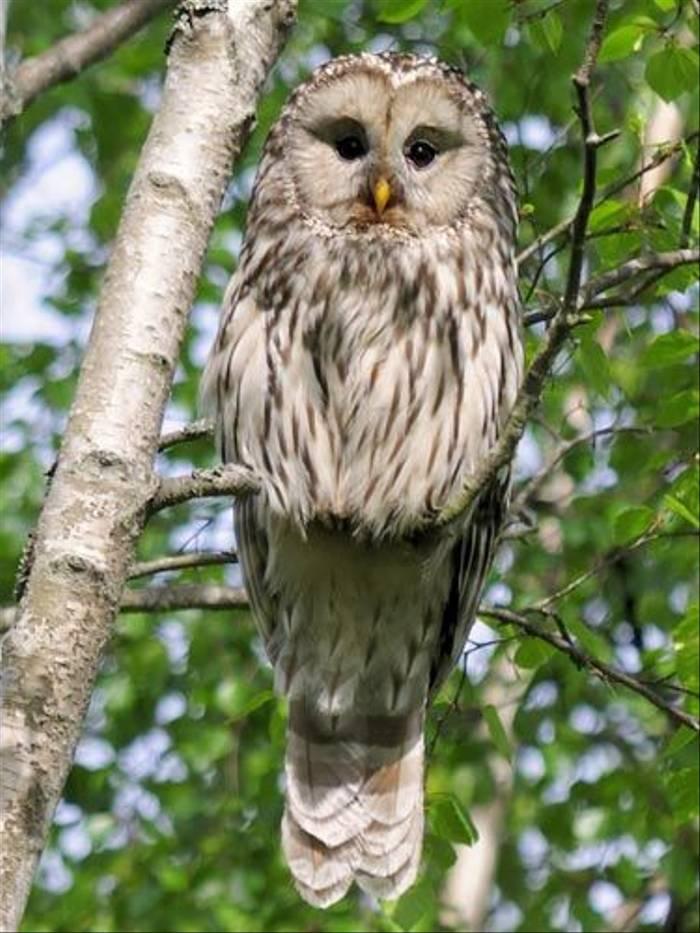 Ural Owl (David Fearn)