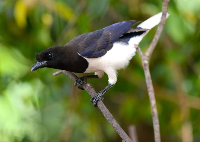 Curl Crested Jay (Stephen Woodham)