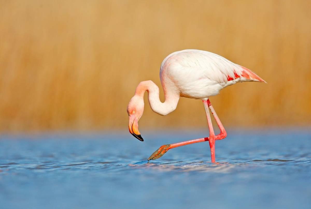 Greater Flamingo, Italy, shutterstock_1014443668.jpg