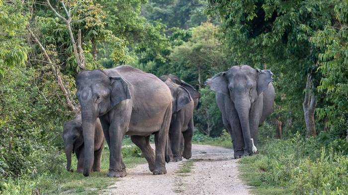 Asian Elephants, Kaziranga, india shutterstock_1421902241.jpg