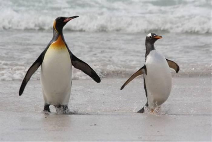 King & Gentoo Penguin (Alan Henry)