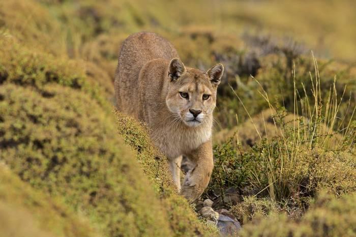 Puma (Dani Free)