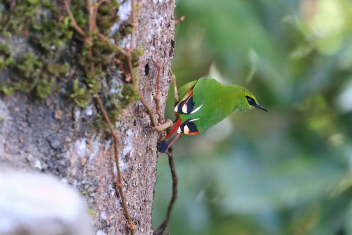 Fire-tailed Myzornis (Sujan Chatterjee)
