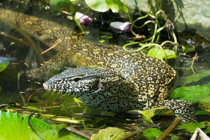 Nile Monitor Lizard, Africa shutterstock_161280686.jpg