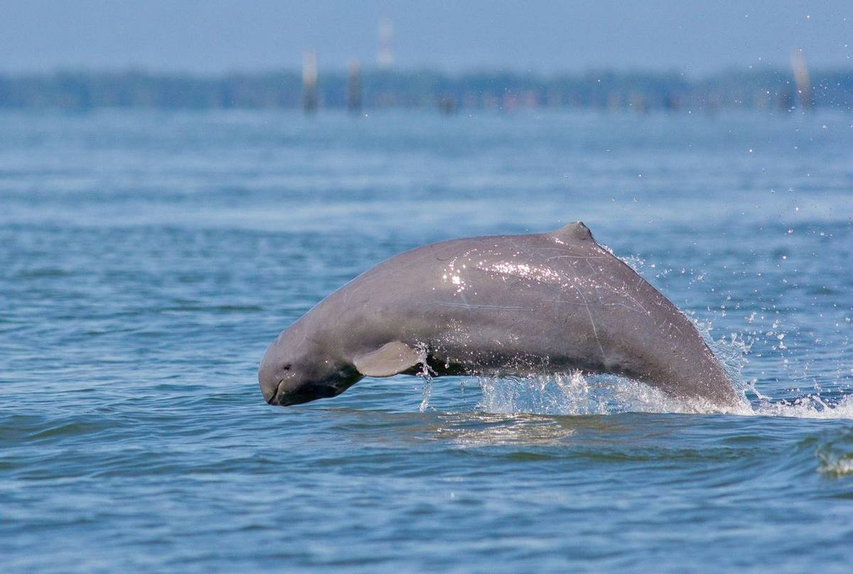 Irawaddy Dolphin shutterstock_647177185.jpg