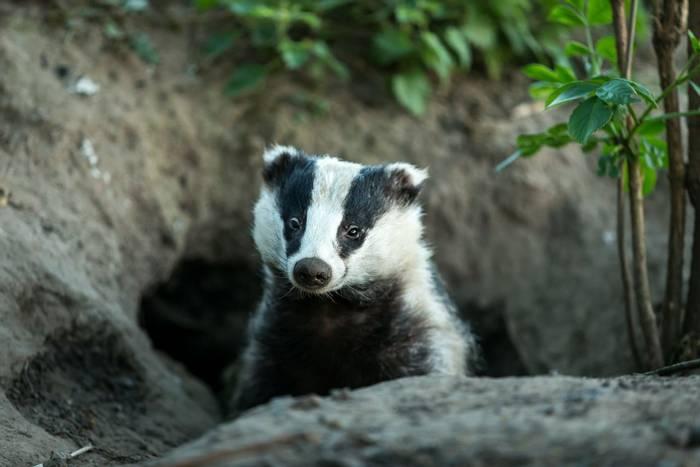 European Badger shutterstock_759814018.jpg
