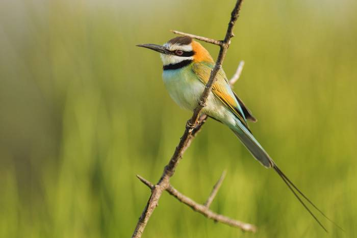 White-throated Bee-eater, Tanzania. shutterstock_190087079.jpg