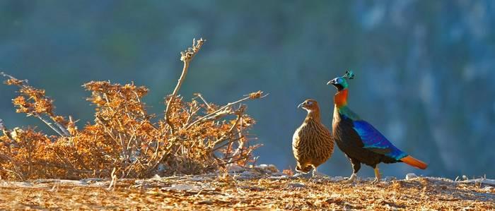 Himalayan Monal Shutterstock 531114934