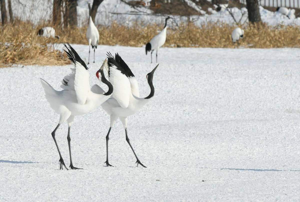 Red-crowned Cranes