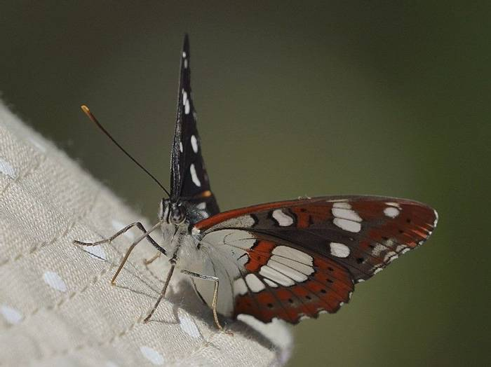 Southern White Admiral 2 (Mark Elliott)