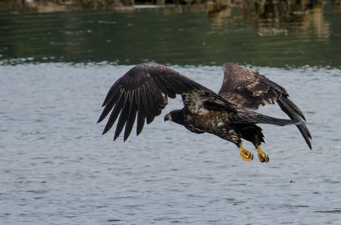 Juvenile Bald Eagle (Tim Melling)