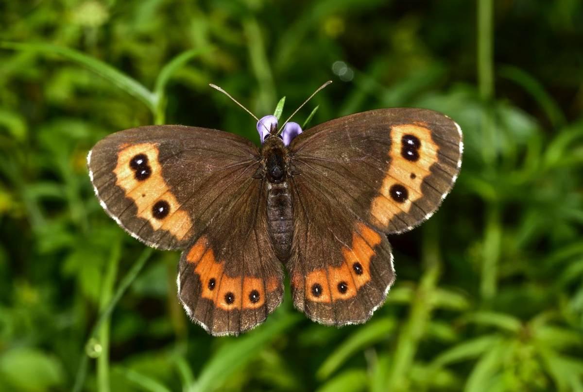 Bright Eyed Ringlet Butterfly Shutterstock 300023582