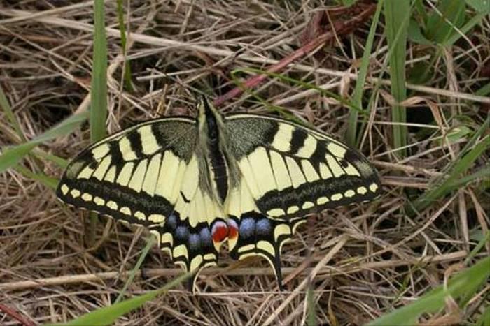 Swallowtail (Tom Brereton)