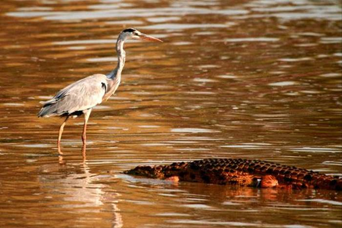 Grey Heron & Crocodile (Bret Charman)