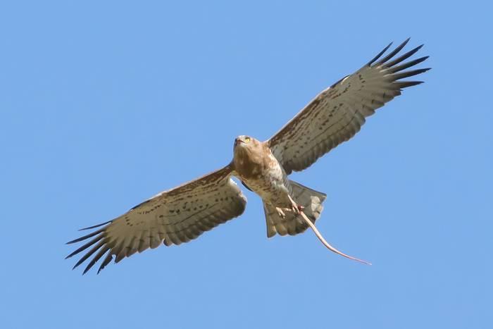 Short-toed Eagle shutterstock_583136923.jpg