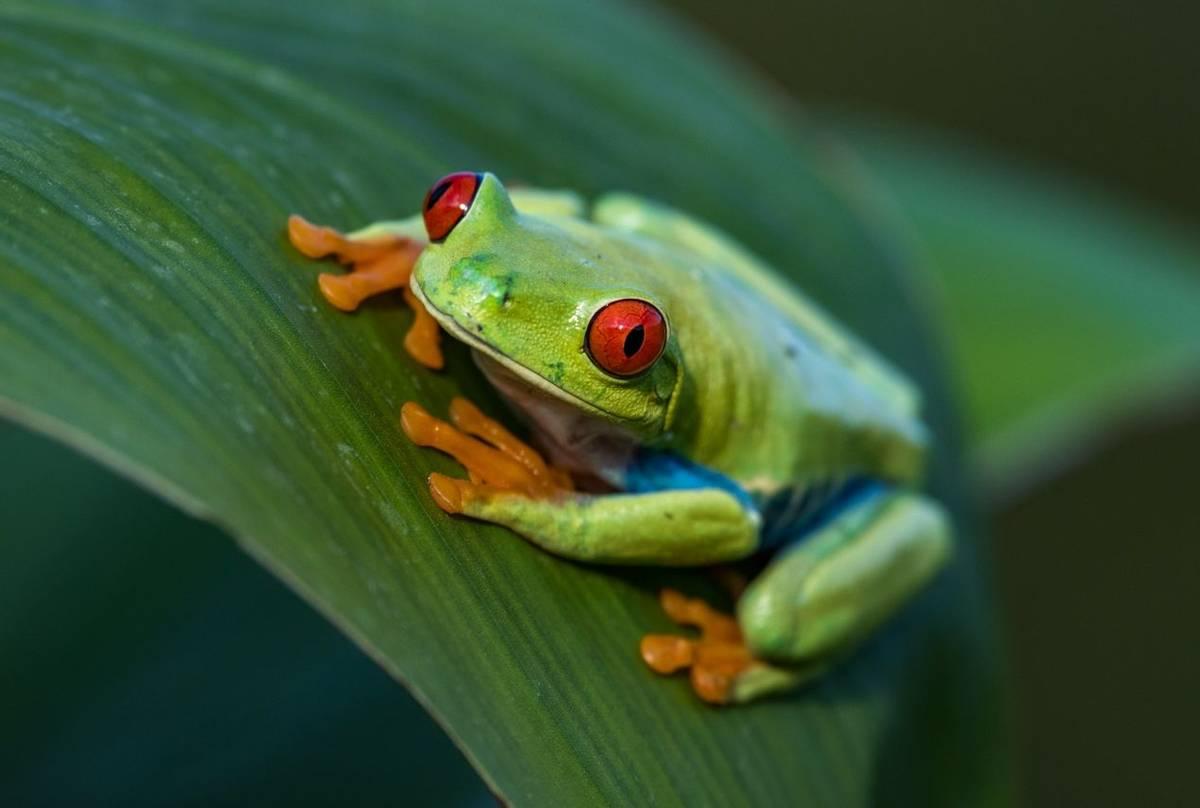 Red Eyed Treefrog, Costa Rica Shutterstock 684296218
