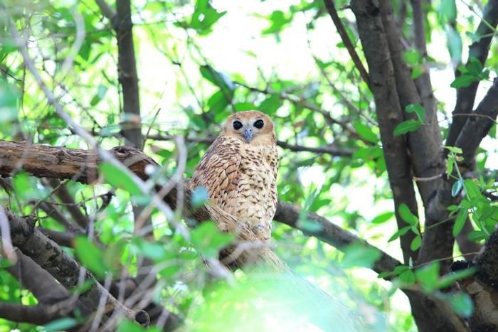 Pel's Fishing Owl, Zambia shutterstock.jpg