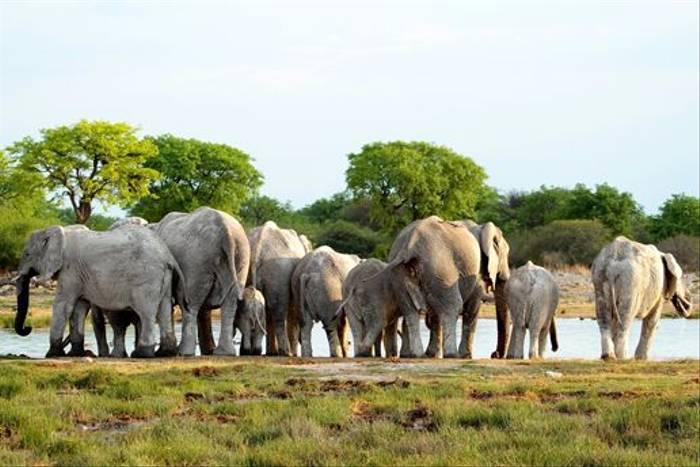 African Elephants (Neil Macleod)