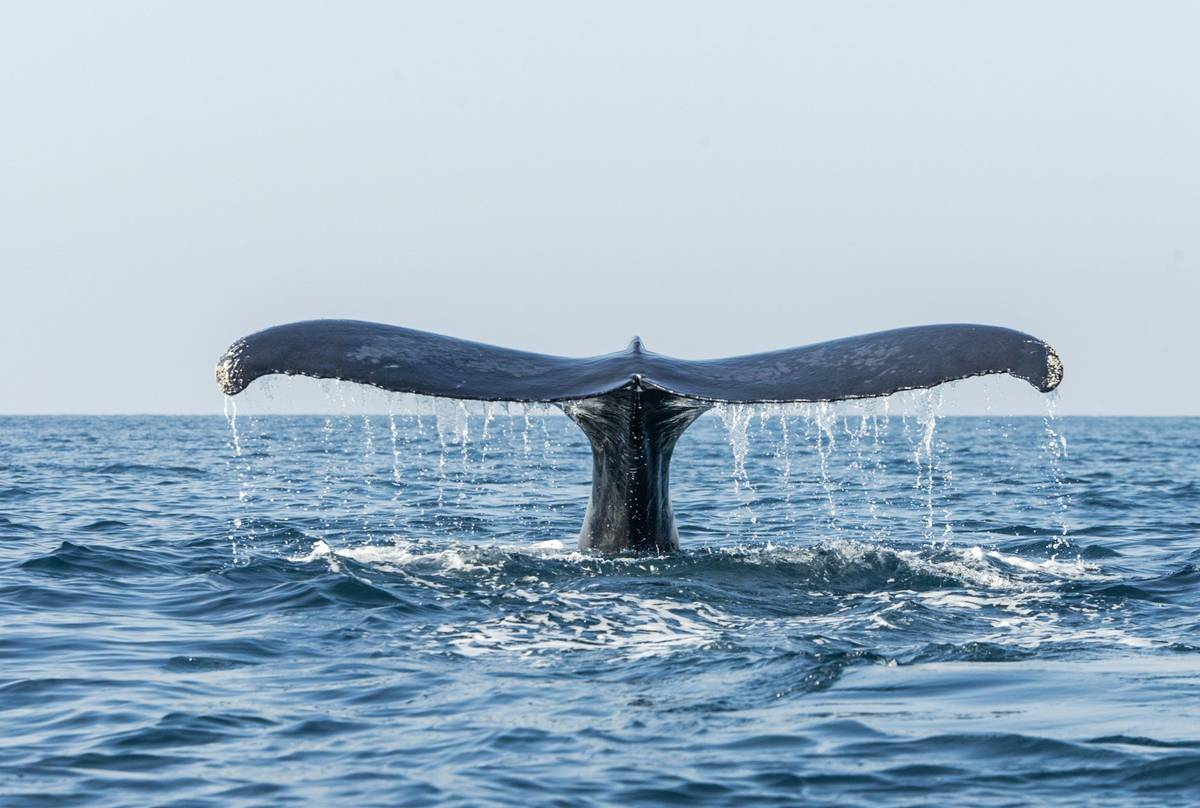 Humpback Whale, Mexico shutterstock_787485766.jpg