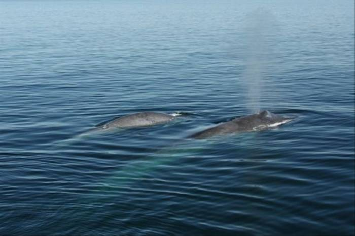 Blue Whale and young