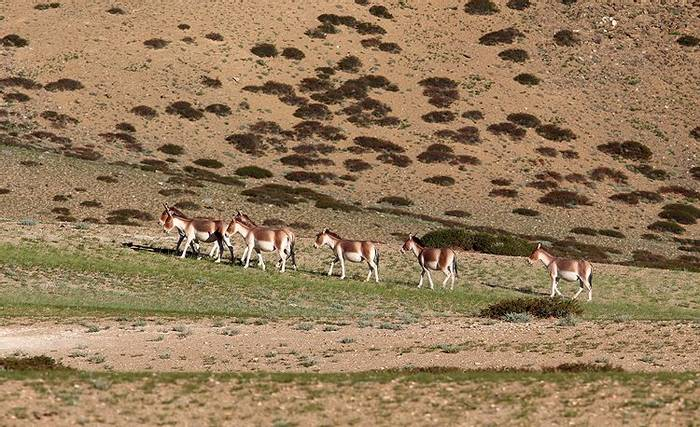 Tibetan Wild Ass (Sujan Chatterjee)