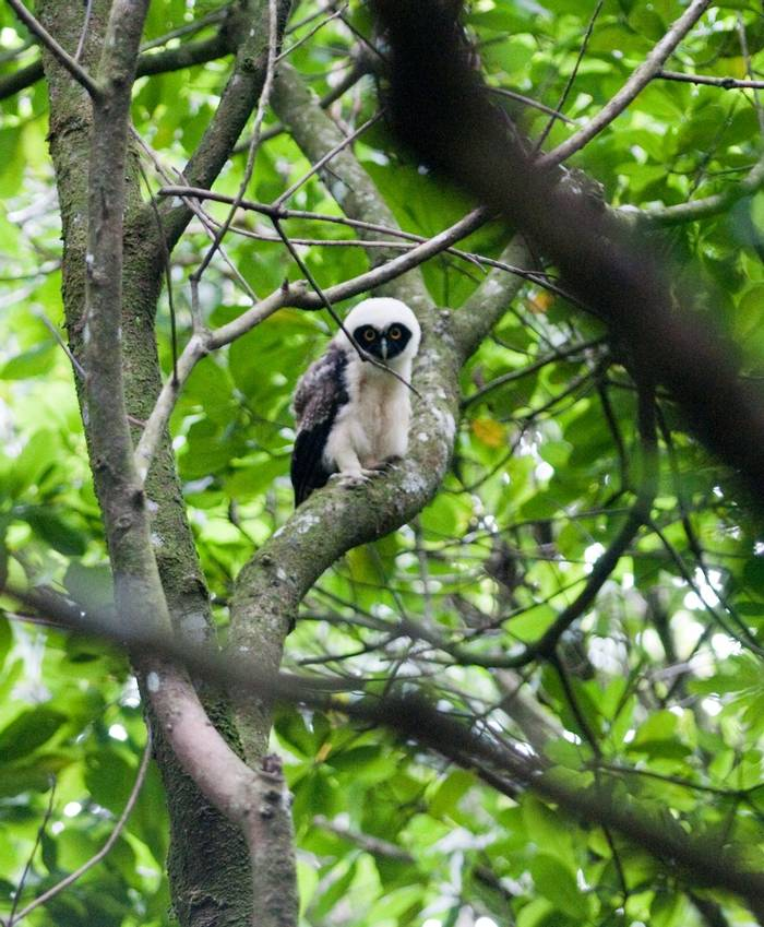 Baby Spectacled Owl (Tarina Hill)