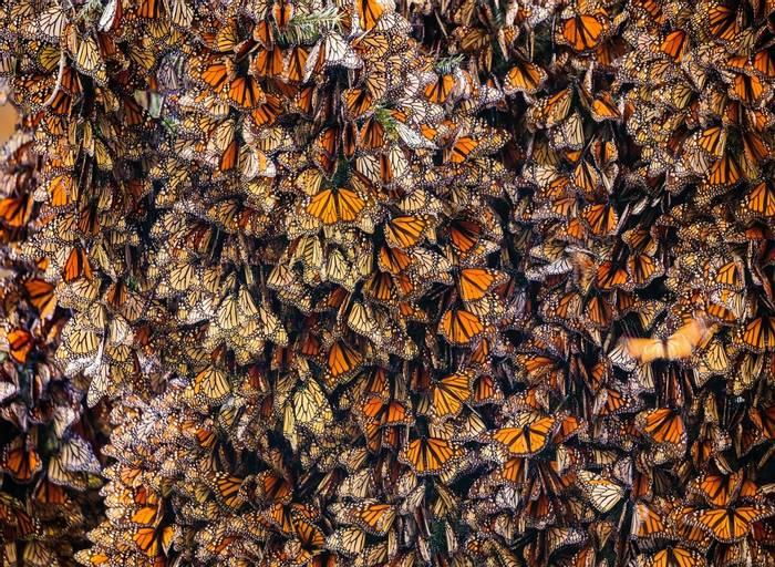 Monarchs, Mexico shutterstock_1053887354.jpg
