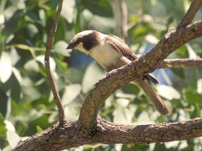 White-crowned Shrike (Paul Stanbury)