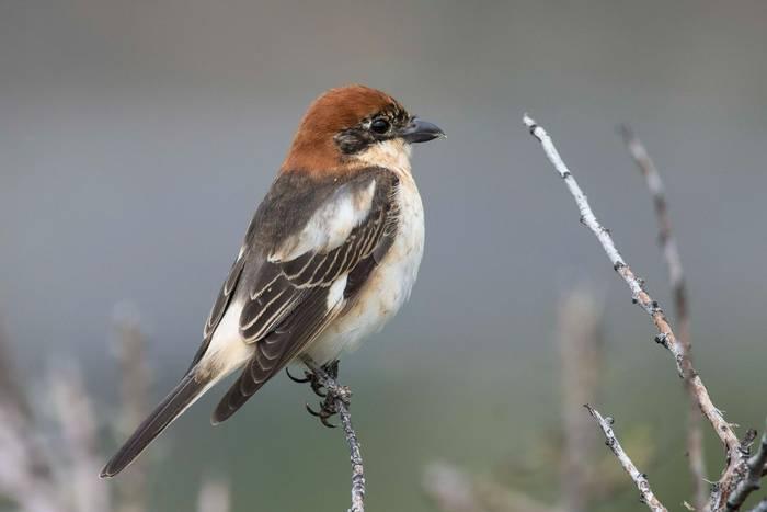 Woodchat Shrike (Mike Vickers)
