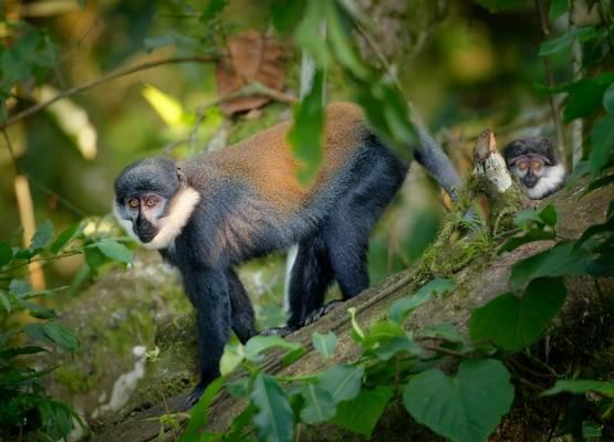 L'hoest's Monkey shutterstock_1768350155.jpg