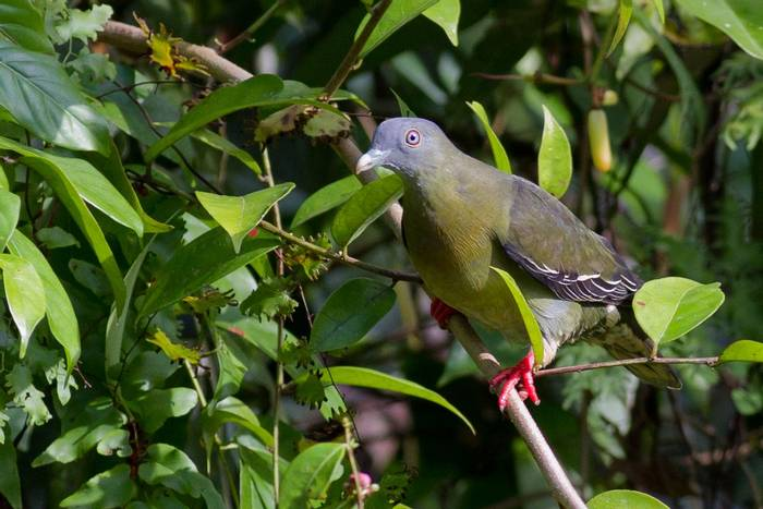 Little Green Pigeon (Jackie Lover)
