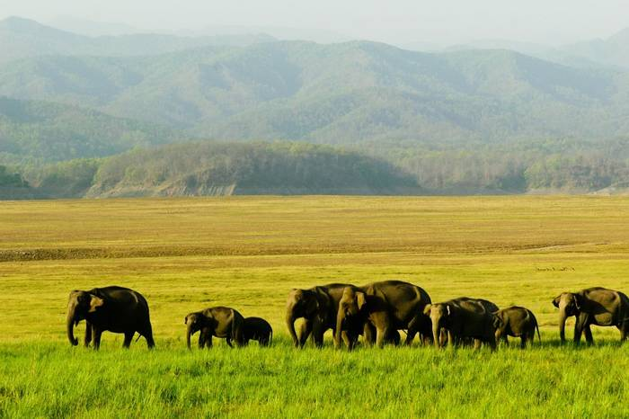 Elephants, Corbett National Park India shutterstock_81818752.jpg