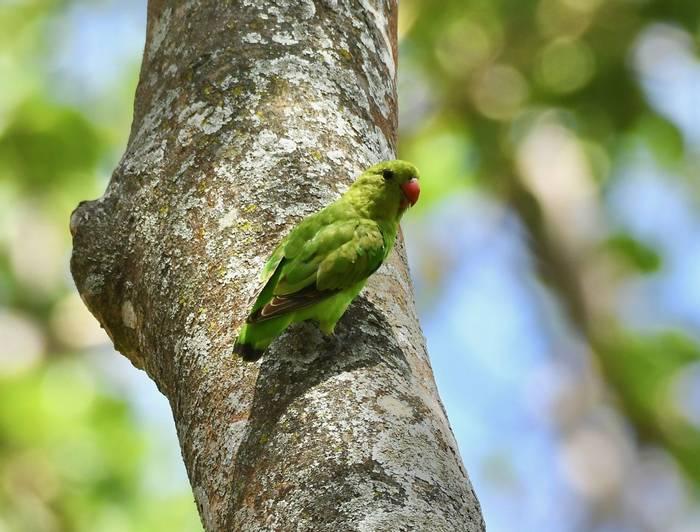Black-winged Lovebird female.jpeg