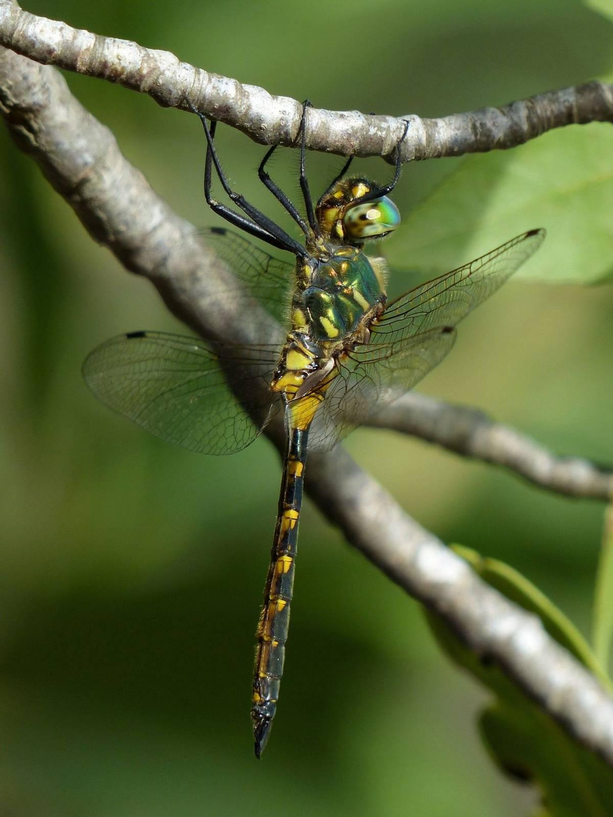 Yellow-spotted Emerald Somatochlora flavoma culata (Dave Smallshire)