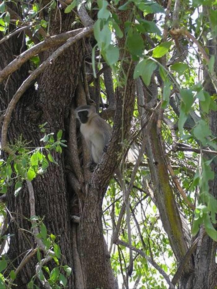 Vervet Monkey (Thomas Mills)