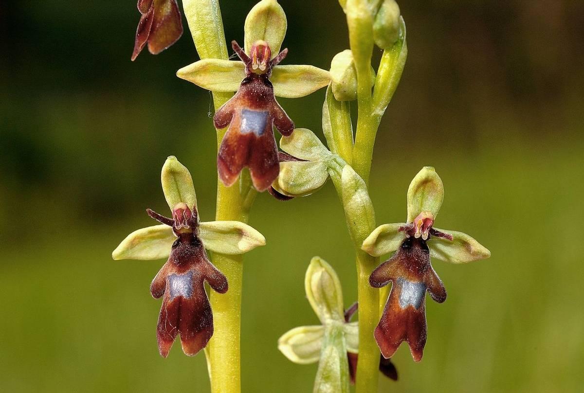 Fly Orchids shutterstock_1380606914.jpg