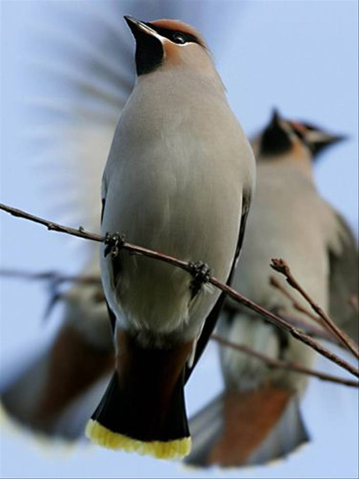 Bohemian Waxwings (Hans Bisther)