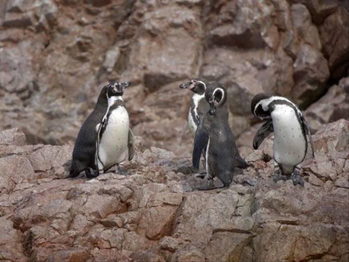 Humboldt Penguin (Peter Price)