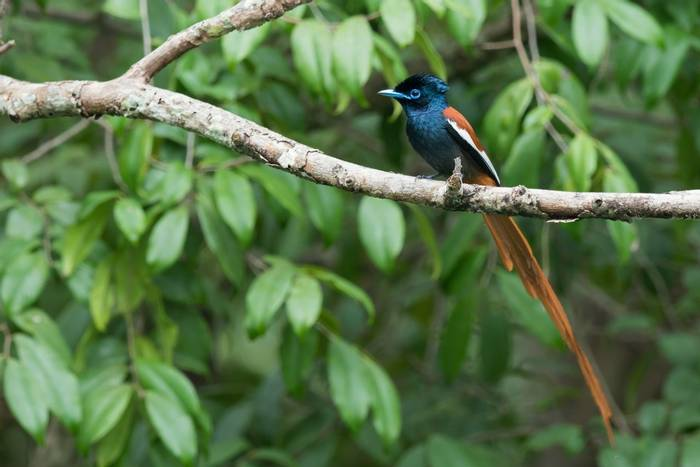 African Paradise Flycatcher (Dave Montrevil)