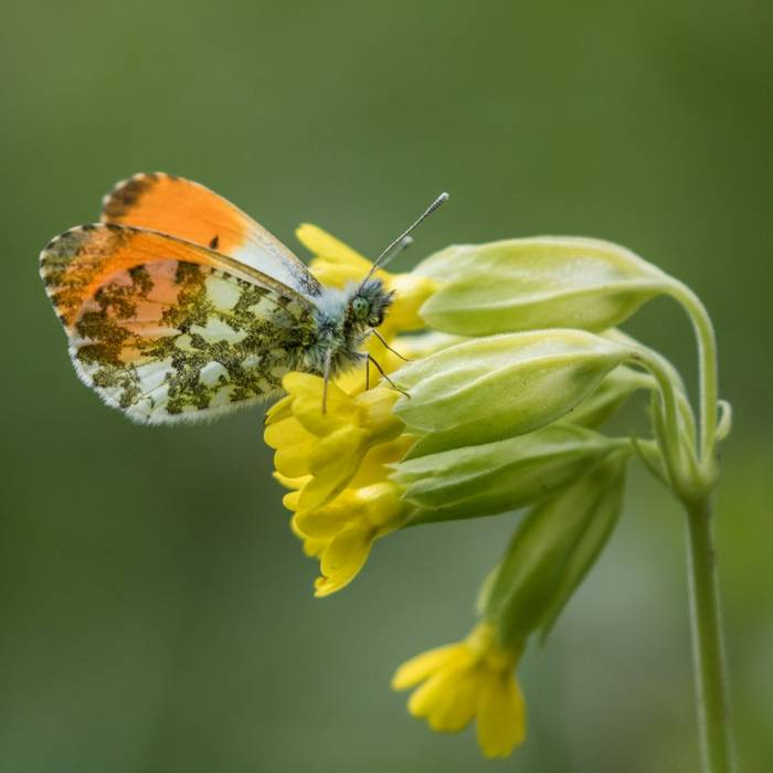 Orange Tip butterfly on Cowslip (Judith Rolfe)