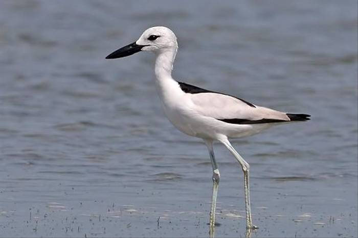 Crab Plover (Chris-Ward)
