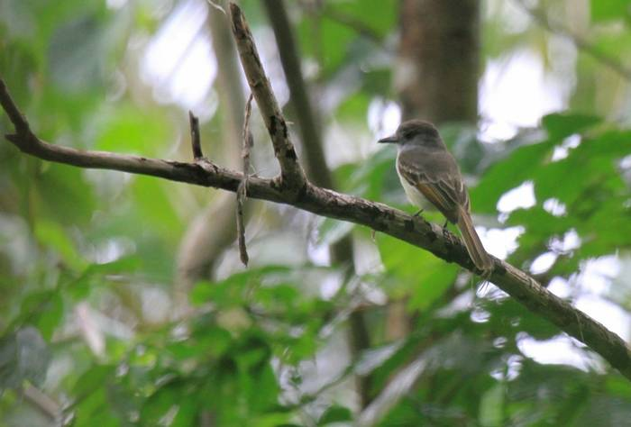 Lesser Antillean Flycatcher, St Lucia