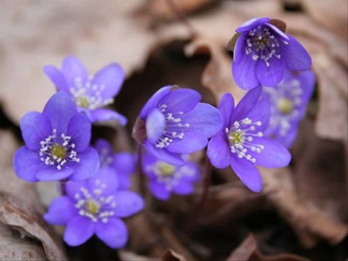 Blue Anemones (Max Green)