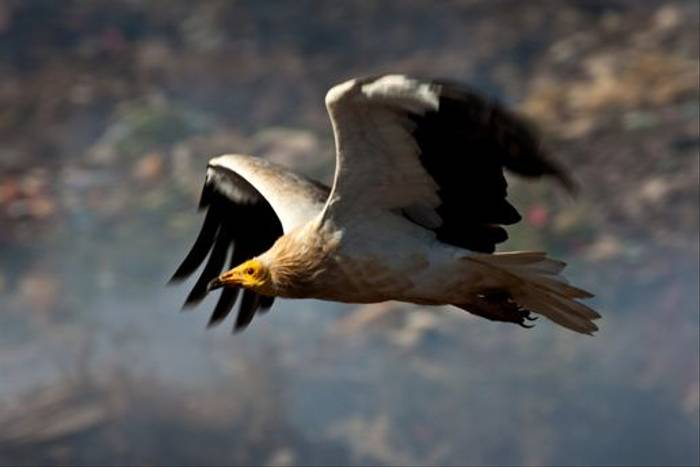 Egyptian Vulture (Dani Free)