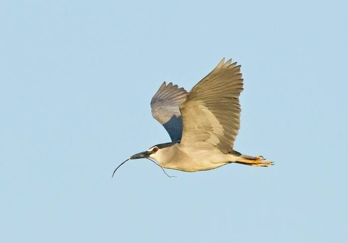 Black-crowned Night Heron (Kevin Elsby)