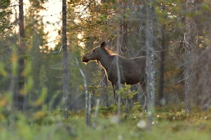 Moose,,-Finland-shutterstock_1150312454.jpg