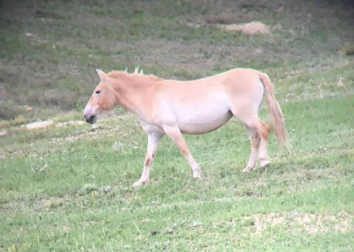 Przewalski's Horse (phone scoped)