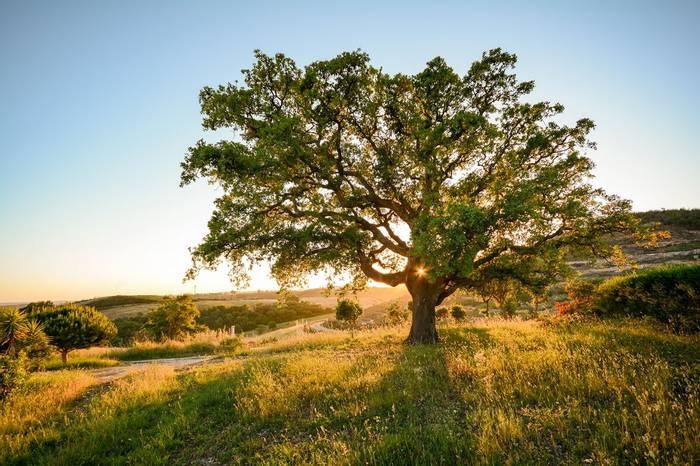 Cork Oak, Alentejo, Portugal Shutterstock 614250275